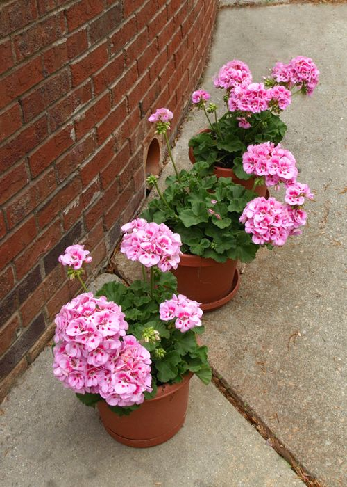 Geraniums edit e-mail