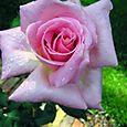 Roses edit e-mail 006