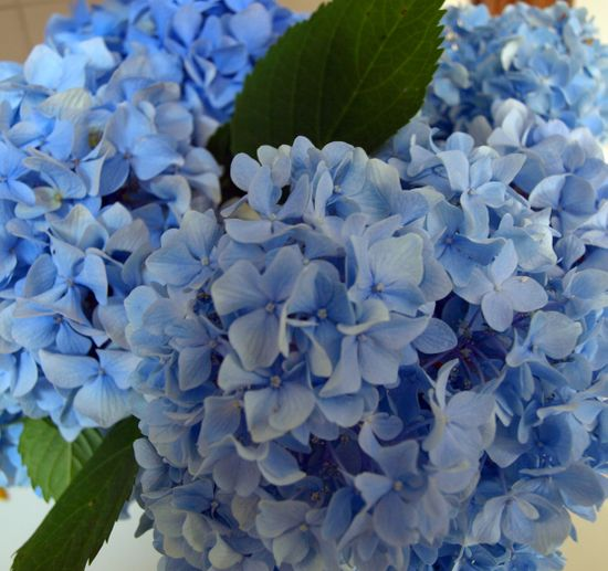 Hydrangeas in the Kitchen edit 004