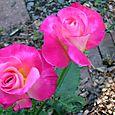Rose Blooms edit e-mail 023