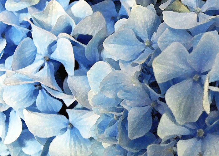 Hydrangeas in the Kitchen watercolor 004