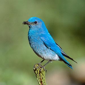 Texas bluebird