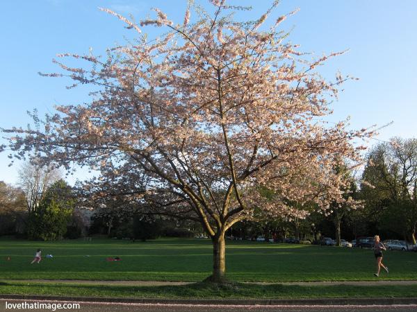 Cherry-tree-0466
