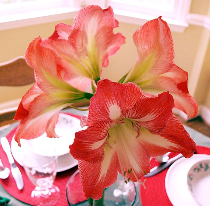 Amaryllis edit e-mail