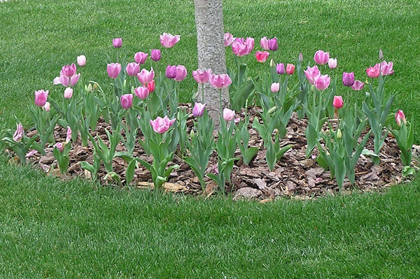 Tulips_edit