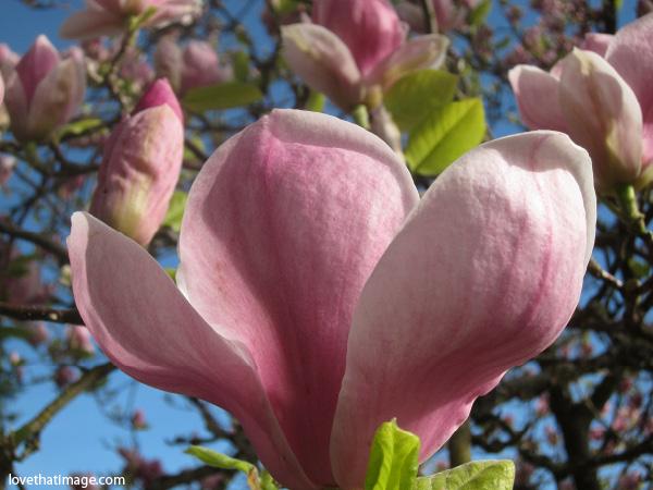 Magnolias-0662