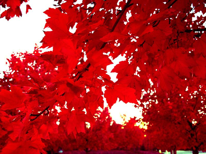 Red Maples edit e-mail 009