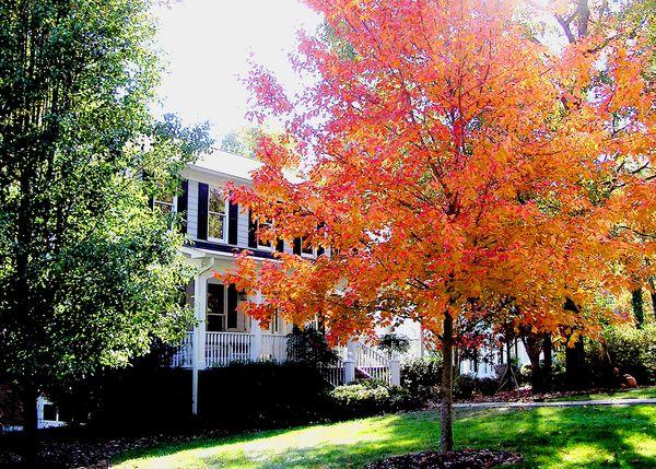Autumn - Our Maple Tree 005 edit