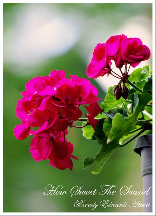 Pink Geranium Blooms