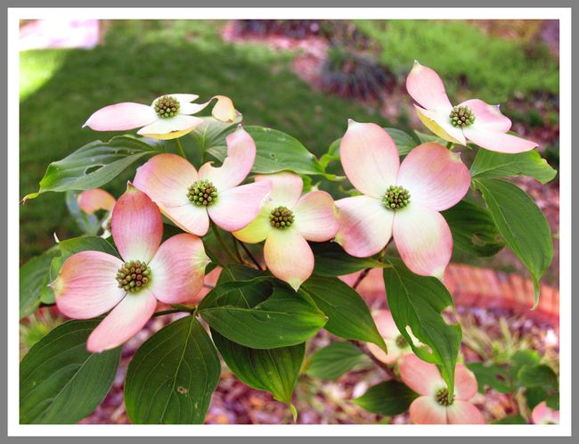 Pink Dogwood 1 edit