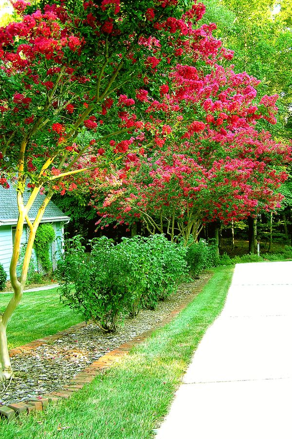 Crepe Myrtles edit