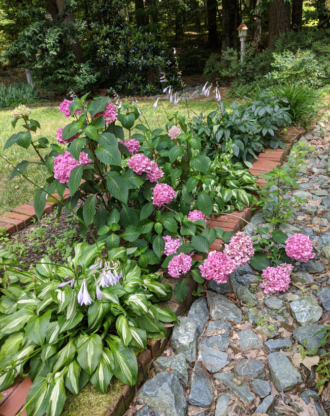 Hosta and Hydrangea